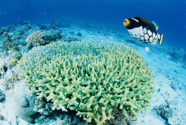 кораллы с острова Окинава